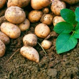 ProfileVeg_Potatoes